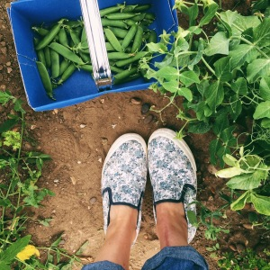 Picking peas